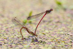 Large red damselfly Stock Photos
