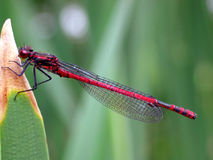 Large Red Damselfly (Pyrrhosoma Nymphula) Royalty Free Stock Photography