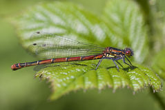 Large Red Damselfly (Pyrrhosoma nymphula) Stock Image