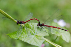 Large Red Damselfly, Pyrrhosoma nymphula, male and female copula Stock Photos