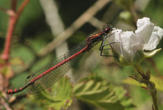 Large Red Damselfly Royalty Free Stock Photos