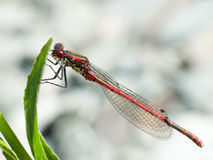 Large Red damselfly (Pyrrhosoma nymphula) Royalty Free Stock Image