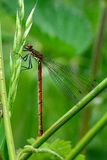 Large red damselfly (Pyrrhosoma nymphula) at rest Royalty Free Stock Photo