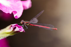 Large Red Damselfly, Pyrrhosoma nymphula, resting on petunia hea Stock Photography