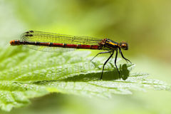 Large red damselfly Stock Image