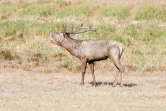 Large red deer during mating season Royalty Free Stock Image