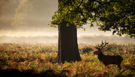 Large red deer stag silhouette Royalty Free Stock Photos