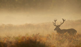 Large red deer stag silhouette Royalty Free Stock Photo