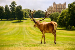 Large Red Deer Stag At Wollaton Hall Stock Image