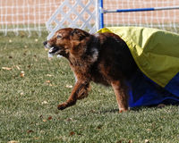 Large red dog coming out of the chute during agility Stock Photography