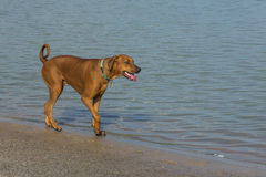 Large red dog walking along a pond`s shore Royalty Free Stock Photos