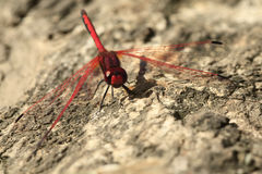 Large red dragonfly. Large bright red dragonfly resting on a tree trunk with wings down Stock Images