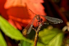 A large red dragonfly sits on a plant branch. Big beautiful red dragonfly sitting on a branch of a plant in nature Royalty Free Stock Images