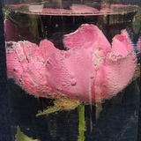Large red flower with bubbles of water in a vase of glass Stock Images