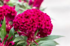 Large red flower Celosia comb. Macro photography of a terry flower, green leaves. Pink flower in nature royalty free stock image
