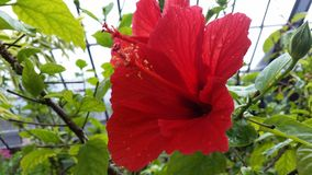 Large Red Flower Close Up. A detailed close up of a large red flower with many petals and a stem stock photo
