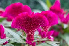 Large red flower. Macro shot of a flower, green leaves. Pink flower in nature stock photo