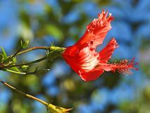 Large red flower and some buds. A blurred background. Large red flower hibiscus and some buds against a blurred background. A soft wind blows stock photo