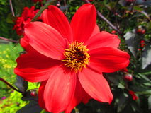 Large red flower in the summer sun Royalty Free Stock Image