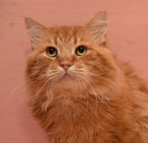 Large red fluffy housecat Royalty Free Stock Photos