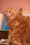 Large red fluffy housecat Stock Photos
