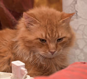 Large red fluffy housecat Stock Images