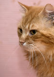 Large red fluffy housecat Stock Photo