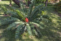 A large red fruit Kosi Cycad grows among large green leaves. Among the large green leaves grows a large red fruit Kosi Cycad Stock Photography