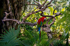Large red and green macaws in the rainforest royalty free stock photo