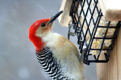 Large red-headed woodpecker. Red-headed woodpecker eating suet in a snowstorm stock photos
