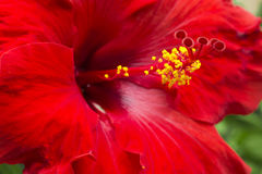 Large Red Hibiscus Royalty Free Stock Image
