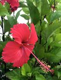 Large red hibiscus flower Hibiscus. stock photos