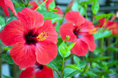 Large red hibiscus flowers Royalty Free Stock Photo