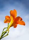 Large red lily flower above blue sky Stock Images