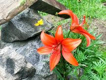 Large red lily flowers with large juicy fresh petals tender against the background of green grass and stones stock photos