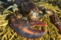 Close up photo of a lobsters claw royalty free stock photography