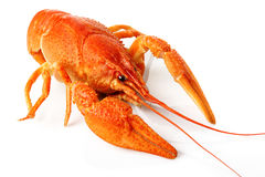 Large red lobster isolated on white Royalty Free Stock Photography