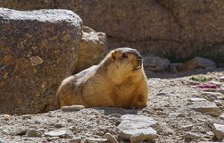 A large red marmot, lit by the sun, lies among the stones. Royalty Free Stock Image