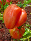 Large red ox heart tomato . Royalty Free Stock Photos