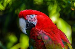 A large red parrot Winged Macaws with a white beak and green fea. Thers closeup and blur background Royalty Free Stock Photography
