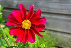 Large red and pink blooming cosmos flower macro close up. A Large red and pink blooming cosmos flower macro close up royalty free stock image