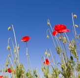 Large red poppy. Red poppy on flowering a meadow Royalty Free Stock Images