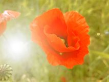 Large red poppy flower on field background and sun glare.  royalty free stock photo