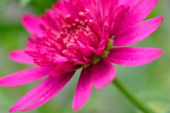 Large red purple flower in bloom Stock Image