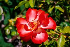 Large Red rose flower, California royalty free stock image