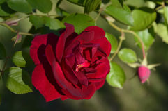 Large Red Rose. A large red rose looking to the side Royalty Free Stock Images