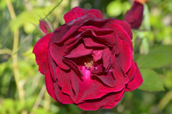 Large Red Rose, Single. A single red rose taken in the summer Stock Photo