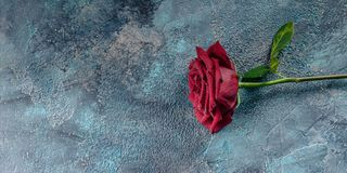 Large red rose with water droplets on a concrete blue background. Toning. Banner. Banner. Large red rose with water droplets on a concrete blue background stock image