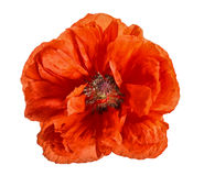 Large red single poppy isolated on white Stock Image