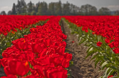 Large Red Springtime Tulip Field of Flowers Royalty Free Stock Photo